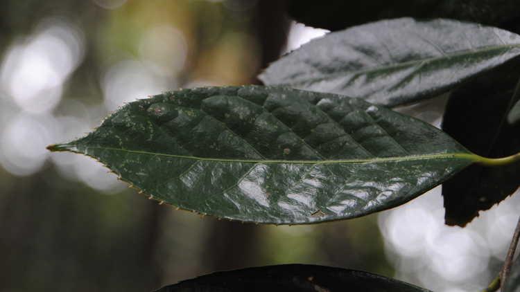 Camellia semiserrata – semi-serrate leaf camellia