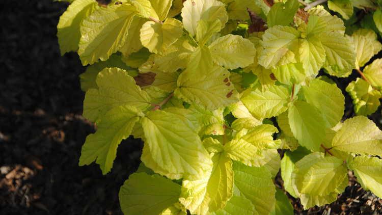 Viburnum dilatatum 'Ogon' – golden linden viburnum