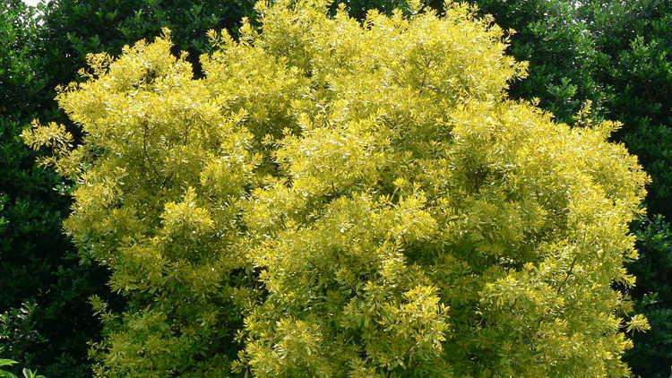 Myrica cerifera 'Soleil' – golden wax myrtle