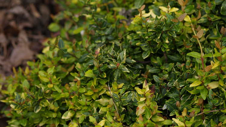 Trachelospermum asiaticum 'Atsuba Chirimen' – dwarf variegated Asiatic jessamine