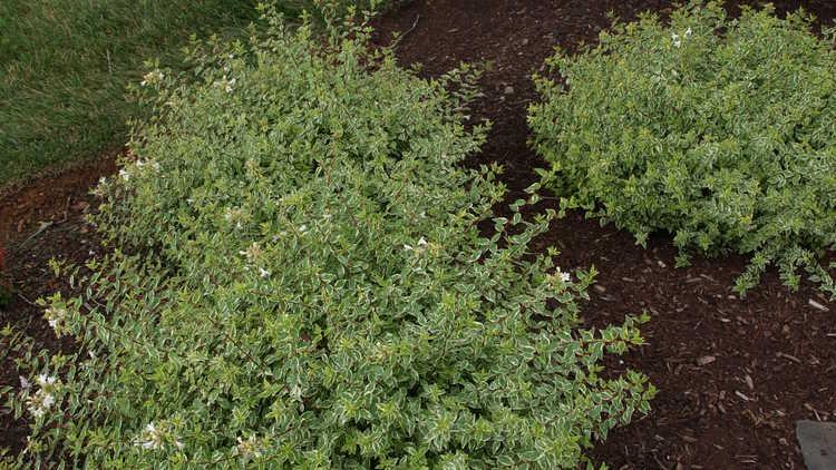Abelia &timesgrandiflora 'Radiance' – variegated glossy abelia