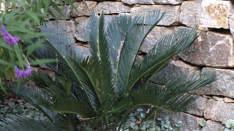 Cycas revoluta – sago palm