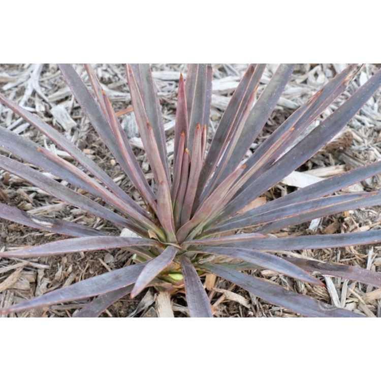 Yucca aloifolia 'Magenta Magic'
