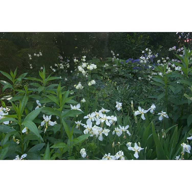 Iris tectorum 'Alba'
