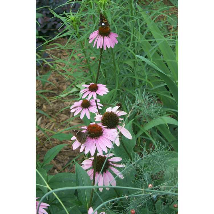 Echinacea purpurea - eastern purple coneflower