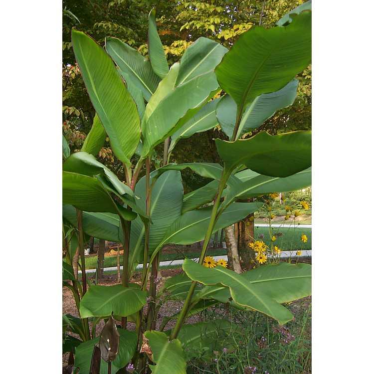 Canna musifolia - banana canna