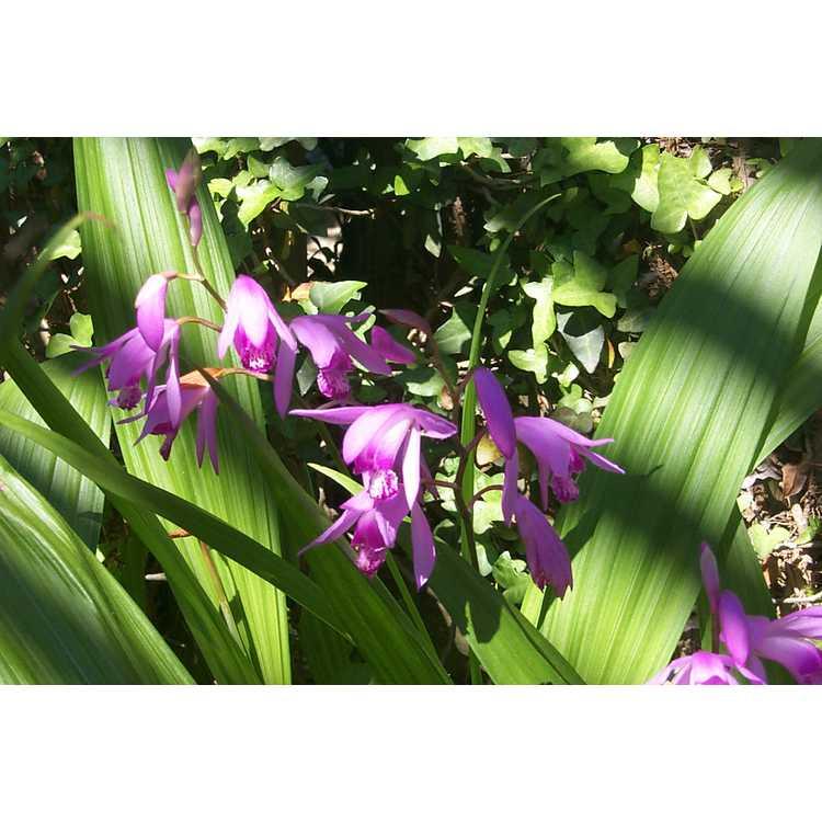 Bletilla striata - ground orchid