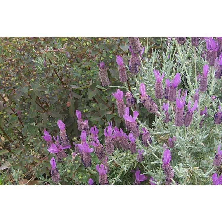 Lavandula stoechas - Spanish lavender, Italian lavender