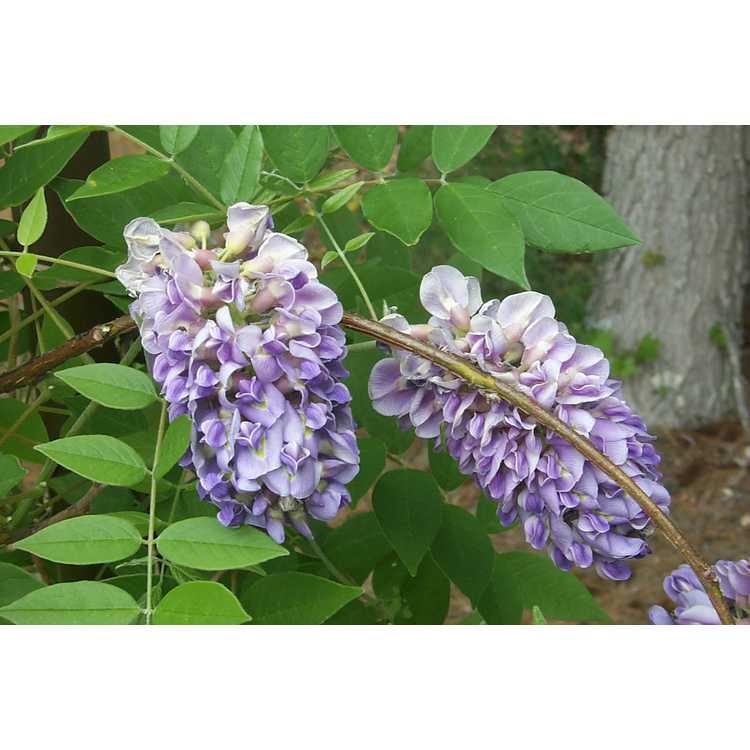 Wisteria frutescens 'Amethyst Falls' - American wisteria