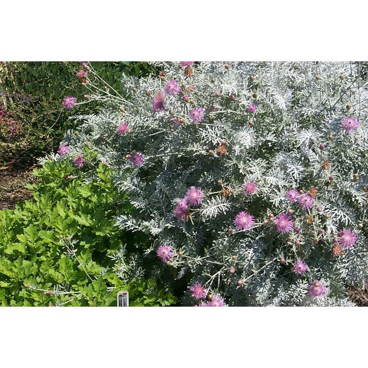 Centaurea cineraria 'Colchester White' - silver bachelor's buttons