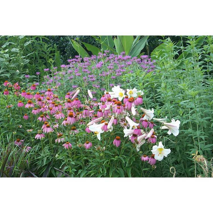 Echinacea purpurea Stewarts Pink