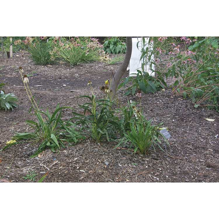 Echinacea - coneflower