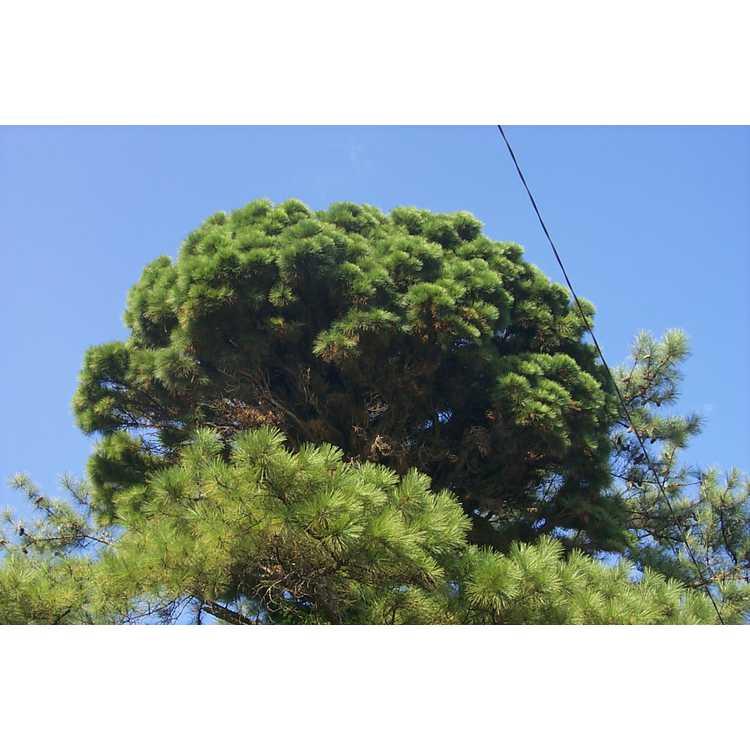 Pinus taeda - loblolly pine
