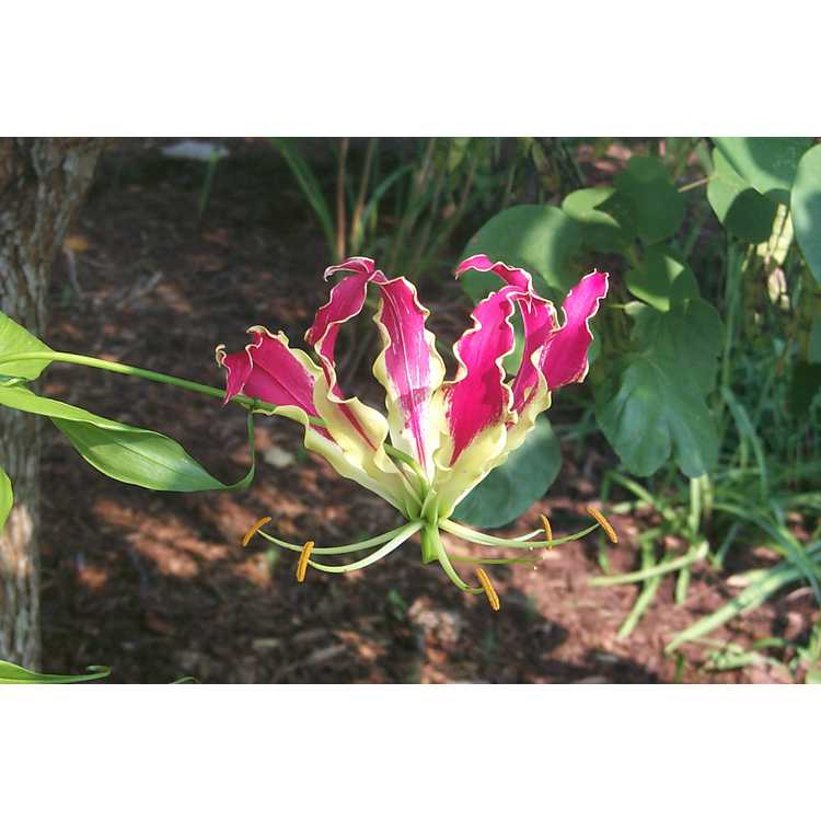 Gloriosa superba 'Rothschildiana' - gloriosa lily