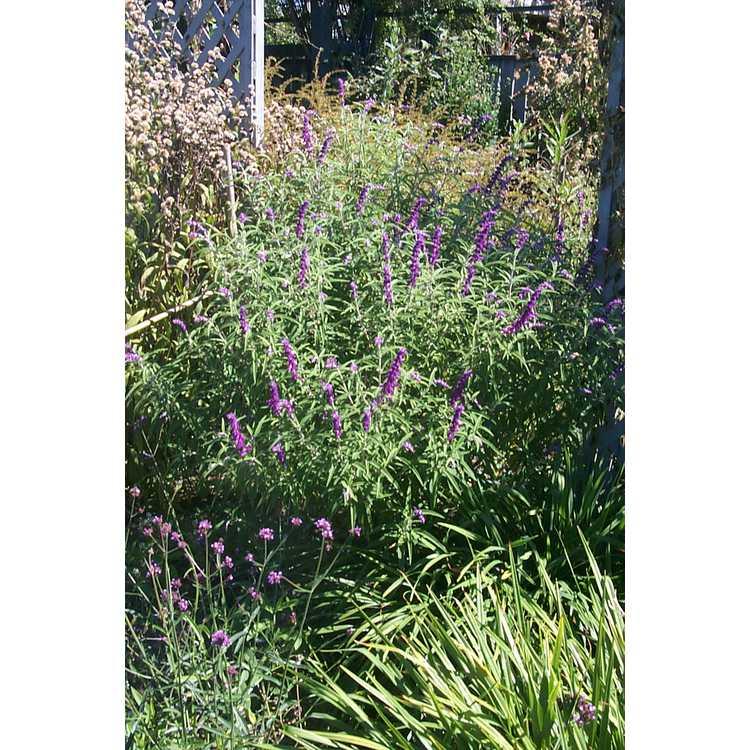 Salvia leucantha - Mexican bush sage