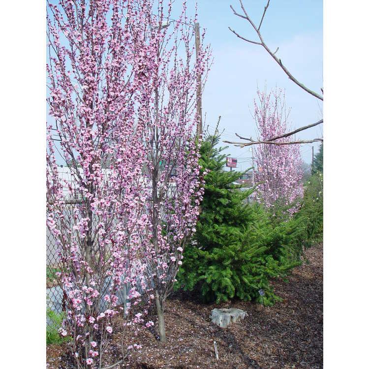 Prunus persica 'Corinthian Pink'