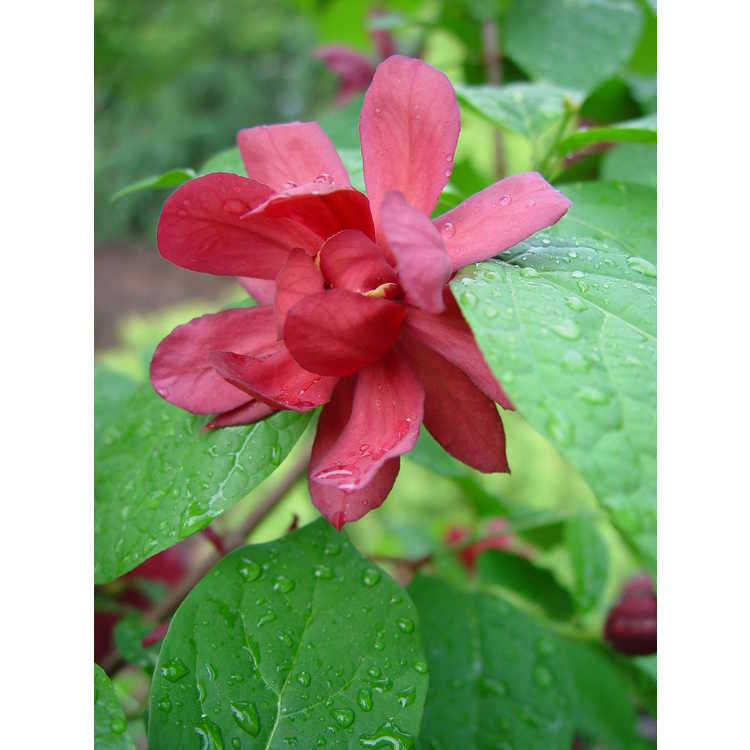 Calycanthus ×raulstonii 'Hartlage Wine' - Raulston allspice