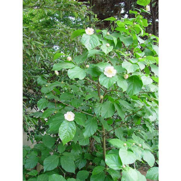 Calycanthus chinensis - Chinese wax plant
