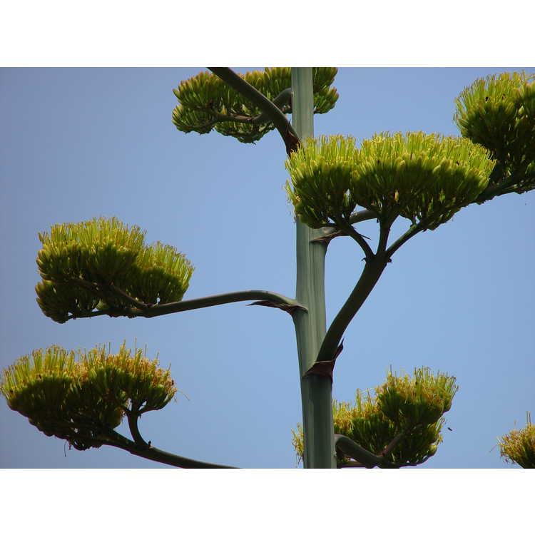 Agave havardiana - Chisos agave