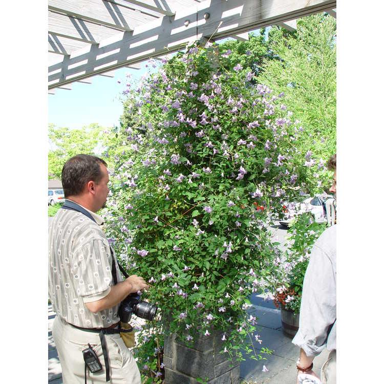 Clematis 'Betty Corning' - garden hybrid clematis
