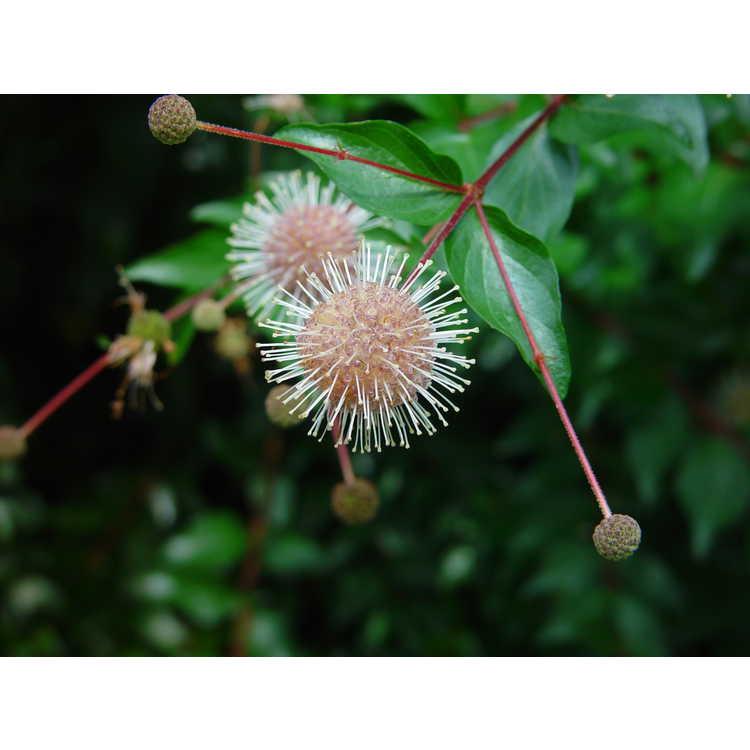Adina rubella 'Purple Flower' - purple Chinese buttonbush