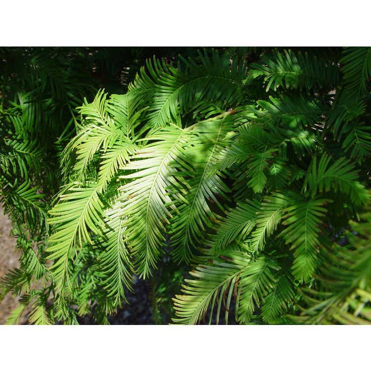 Metasequoia glyptostroboides 'Ogon'