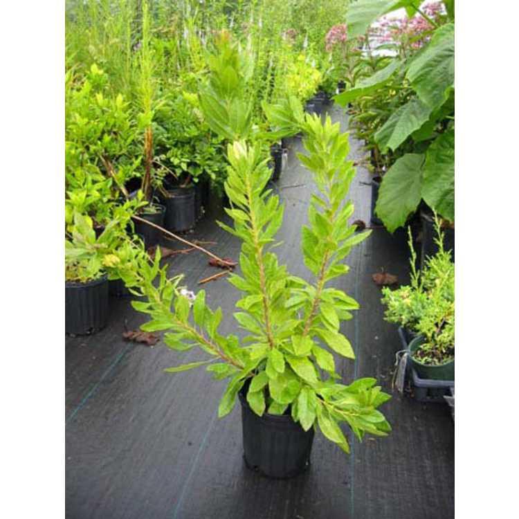 Myrica heterophylla 'Robbie Green'