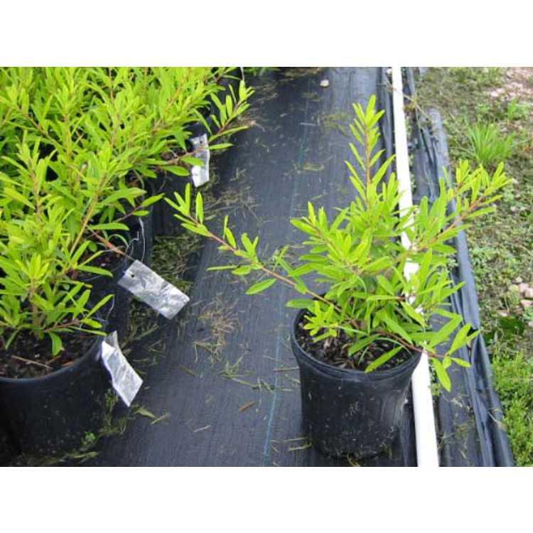 Ilex cassine var. angustifolia
