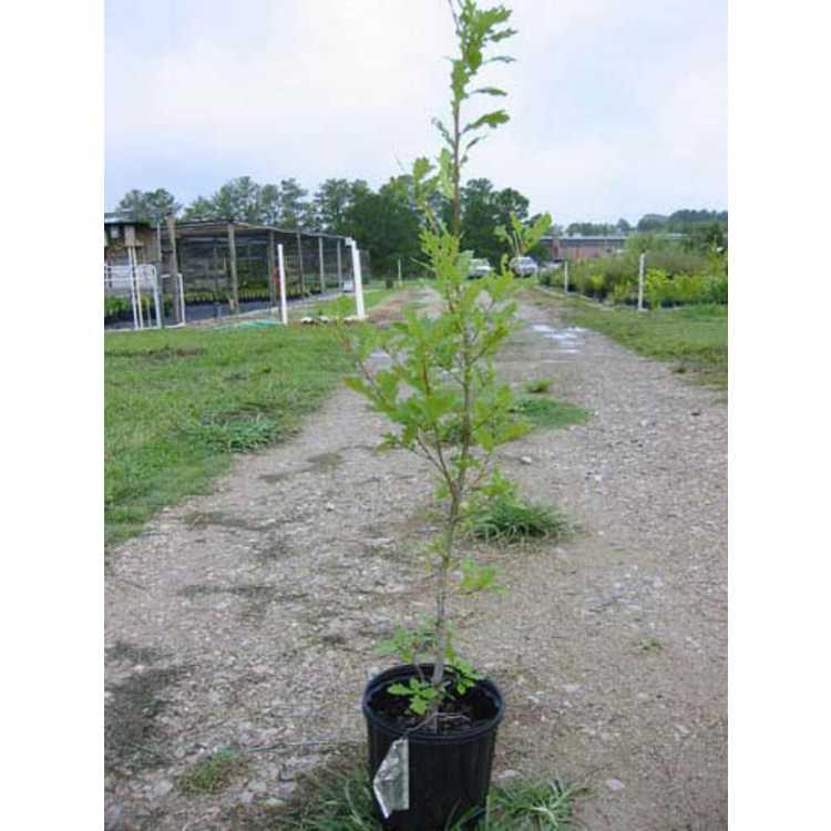 Quercus robur f. fastigiata