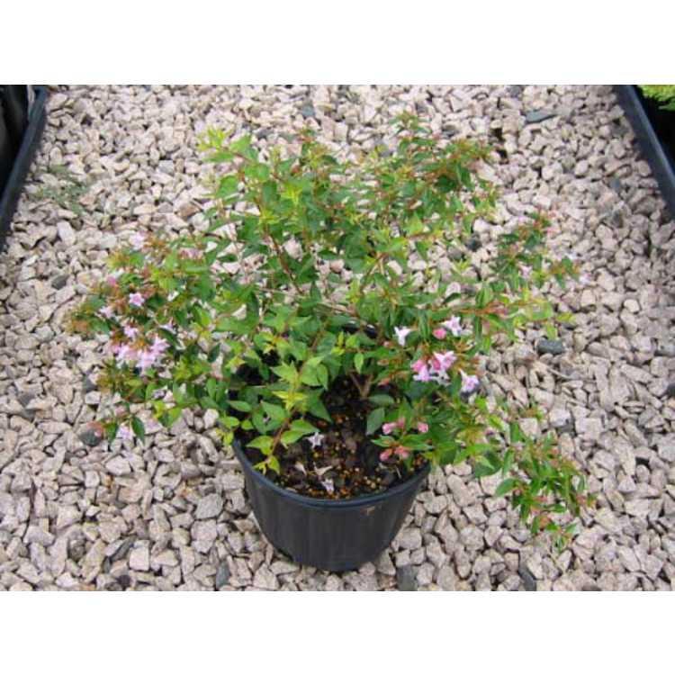 Abelia parvifolia