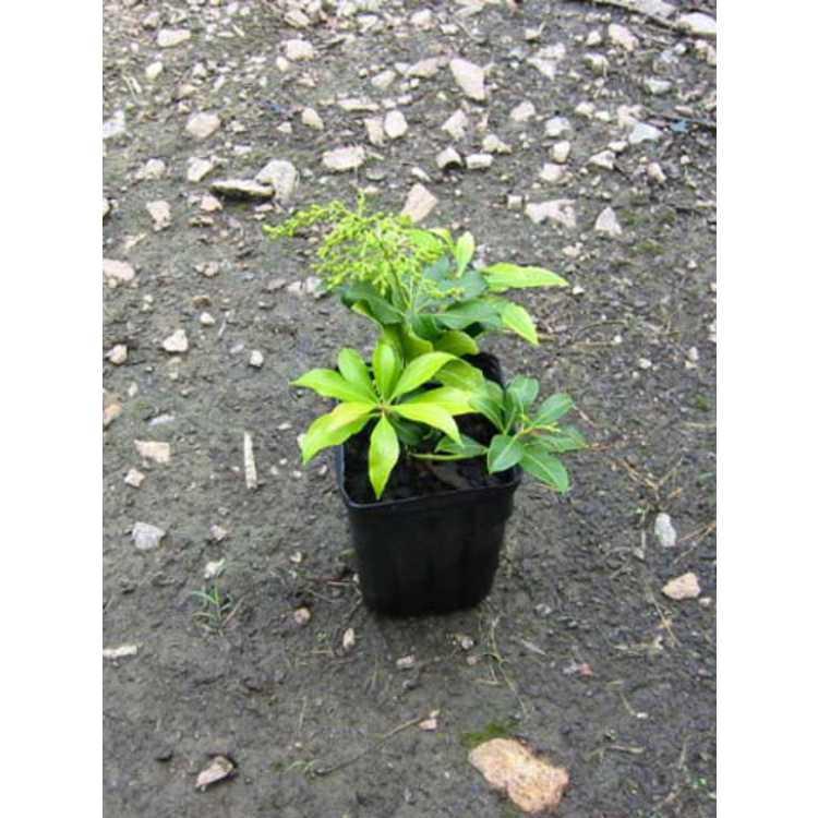 Pieris japonica 'Whitecaps'