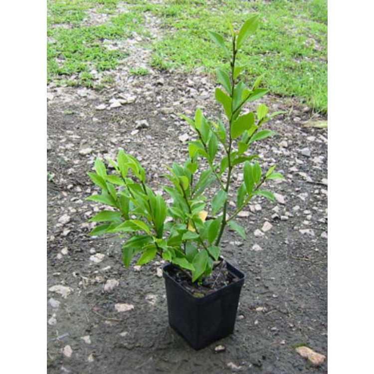 Magnolia figo 'Port Wine'