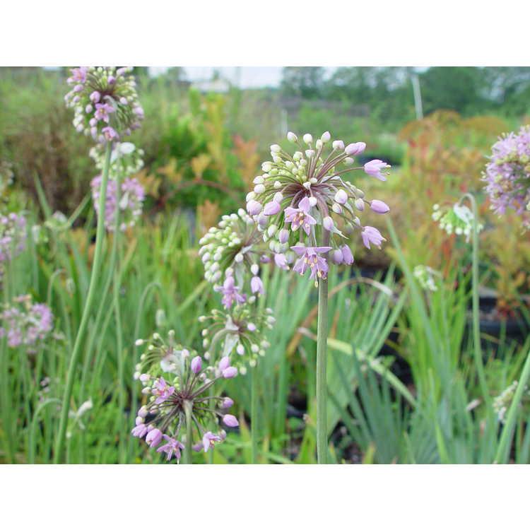 Allium stellatum - prairie onion