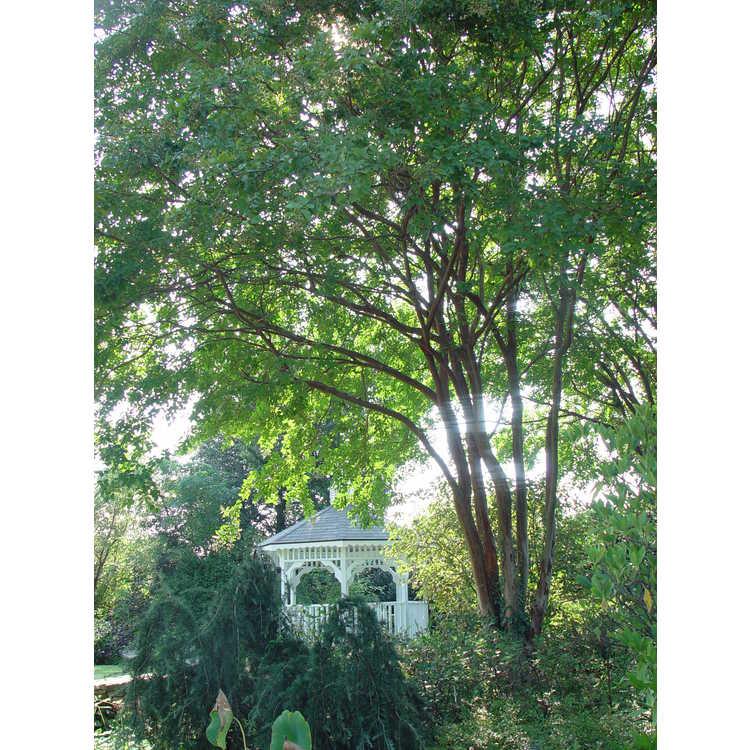 Lagerstroemia 'Natchez' - crepe myrtle