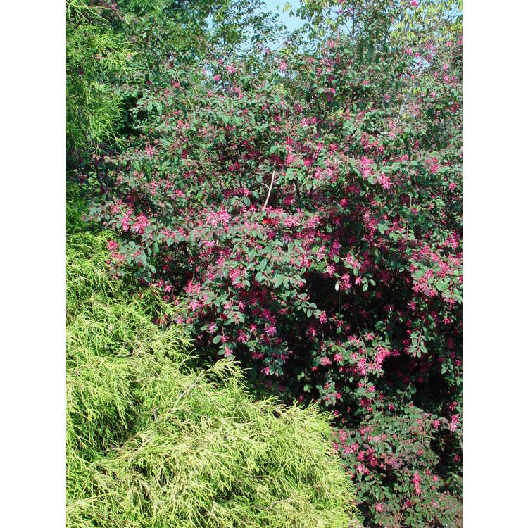 Loropetalum chinense var. rubrum - pink Chinese fringe-flower