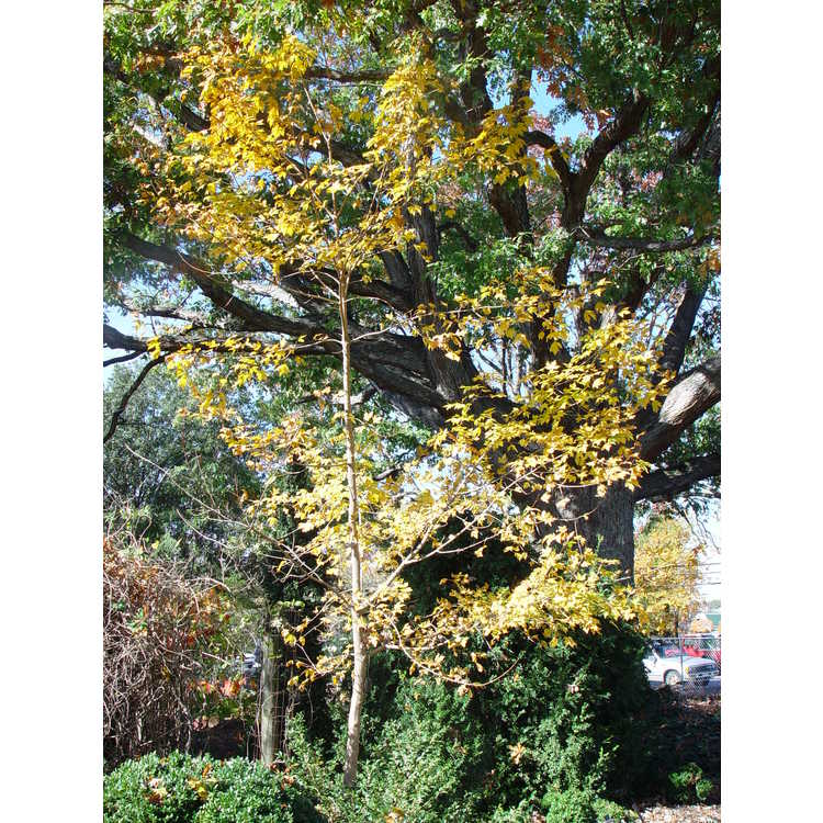 Acer miyabei