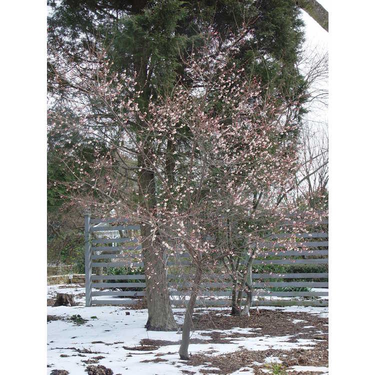 Prunus mume 'Rose Bud'