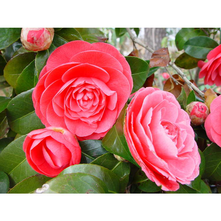 Camellia japonica Jacks