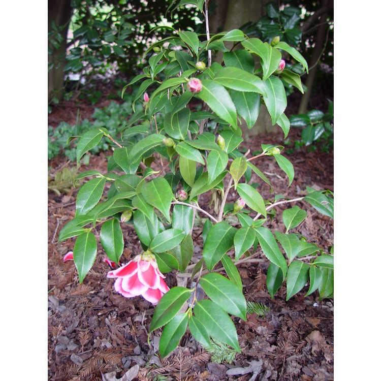 Camellia japonica Tama Peacock