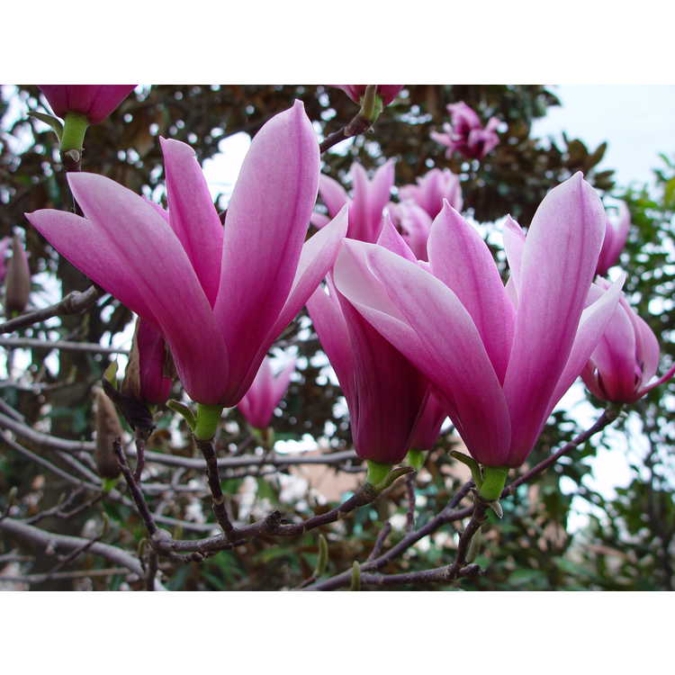 Magnolia 'Raspberry Ice' - Gresham hybrid magnolia