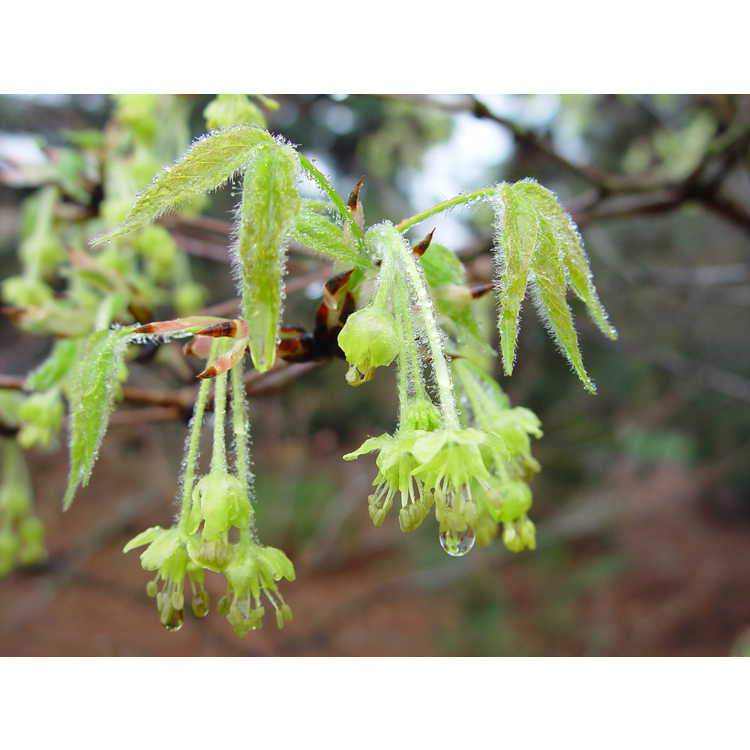 Acer triflorum - three-flower maple