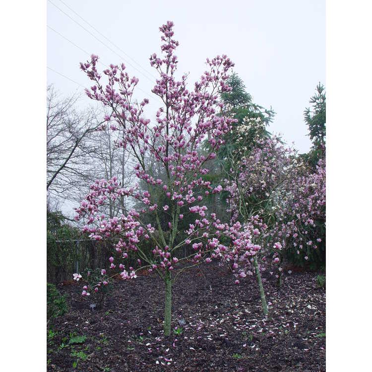 Magnolia ×soulangeana 'Verbanica' - saucer magnolia