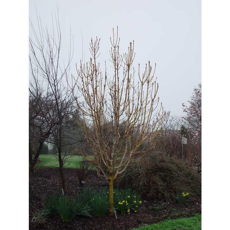 Fraxinus excelsior 'Handes' - Golden Desert gold-twig European ash