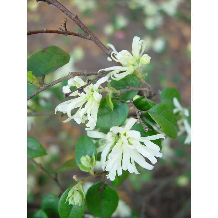 Loropetalum chinense var. chinense - white Chinese fringe-flower