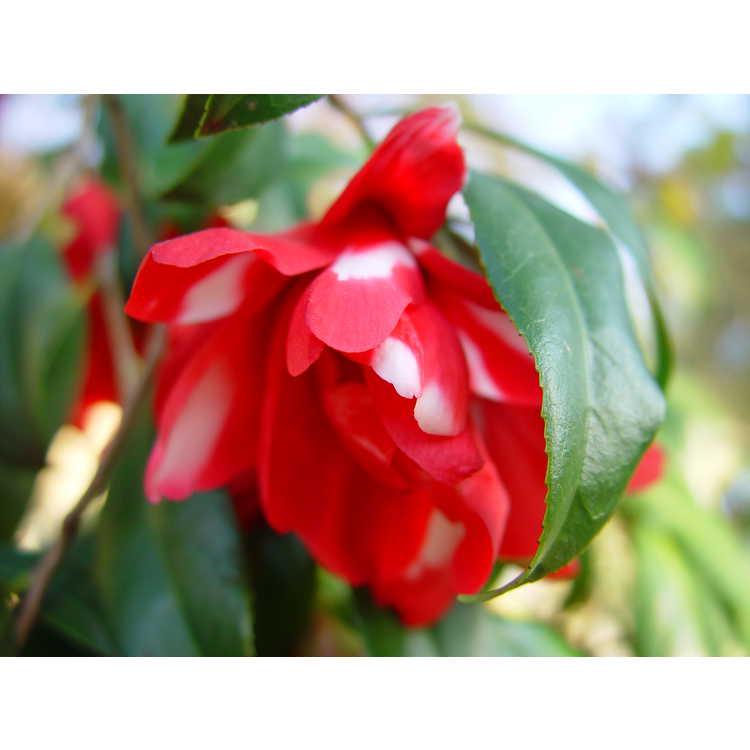 Camellia japonica 'Kujaku Tsubaki' - peacock Japanese camellia