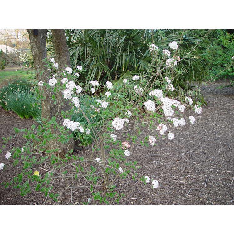 Viburnum ×burkwoodii 'Anne Russell' - Burkwood viburnum