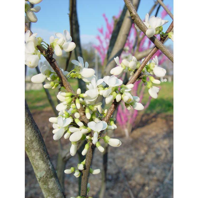 Cercis chinensis 'Shirobana' - white Chinese redbud