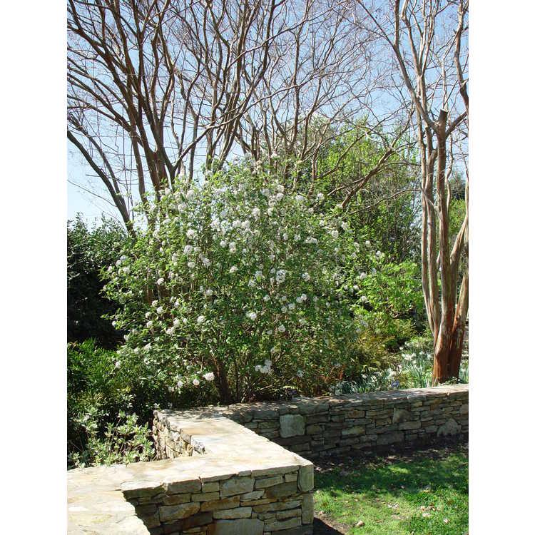 Viburnum burkwoodii Mohawk