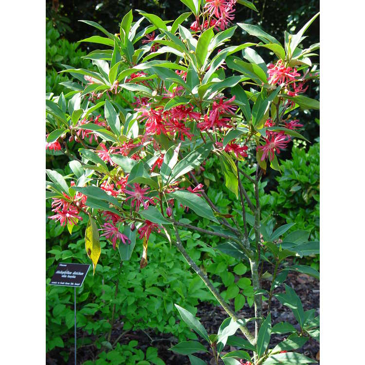 Illicium 'Woodland Ruby' - pink anise