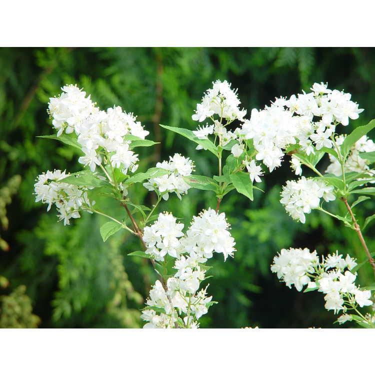 Deutzia ×lemoinei - Lemoine deutzia